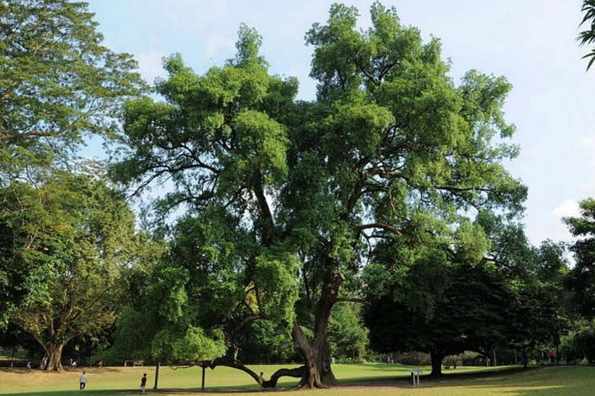 The Tembusu Tree, located at the Botanic Gardens, is one of the trees under the National Parks' (NParks) Heritage Tree Scheme. -- PHOTO: NPARKS