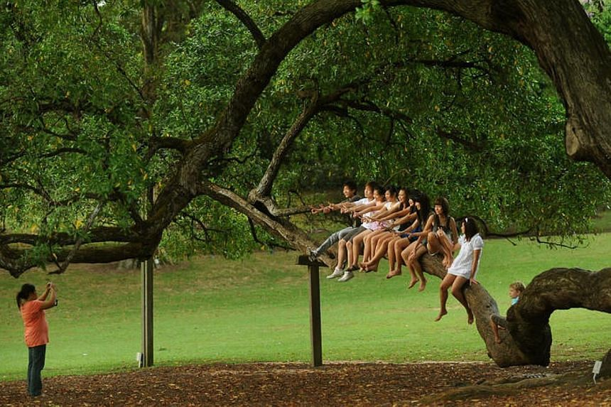 A group of friends pose for a photo after climbing onto a Tembusu tree's low-lying branch at Botanic Gardens on April 3, 2009. -- ST PHOTO: JOYCE FANG