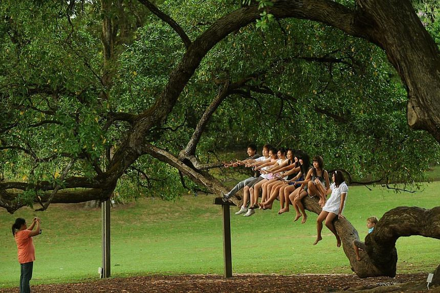 A group of friends pose for a photo after climbing onto a Tembusu tree's low-lying branch at Botanic Gardens, on 3 April 2009. -- PHOTO: ST FILE