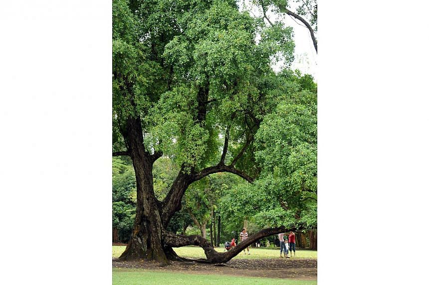More than 150 years old, this heritage tembusu tree at the Singapore Botanic Gardens is a favourite with kids and newlyweds. -- PHOTO: ST FILE