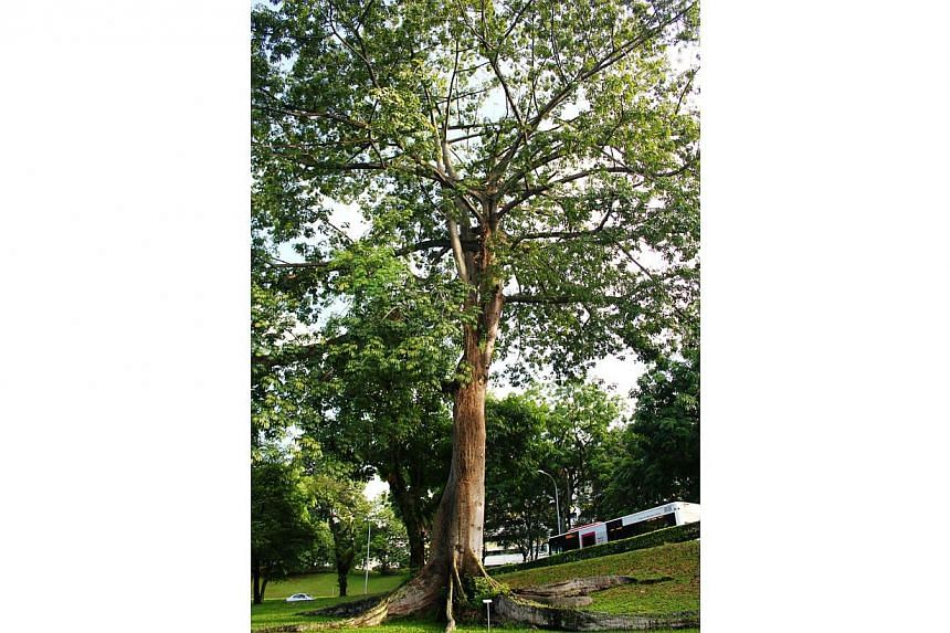 The Kapok tree or Ceiba pentandra at Toa Payoh North Flyover is one of the trees under the National Parks' (NParks) Heritage Tree Scheme. The 32m-tall, 5.8m-wide tree was planted in the 1970s, around the same time the Toa Payoh satellite town and fly