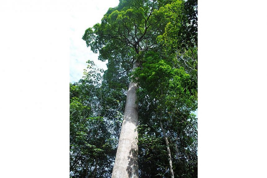 The Common Pulai tree, or Alstonia angustiloba located along Jalan Durian on Pulau Ubin is one of the trees under the National Parks' (NParks) Heritage Tree Scheme. At 40m tall, with a girth of 6.5m, it can be seen from the bumboat as you ride to and