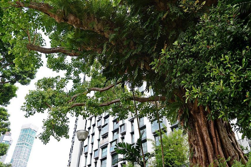 The Bodhi tree Duxton Plain Park, near Neil Road is one of the trees under the National Parks' (NParks) Heritage Tree Scheme. -- PHOTO: ST FILE