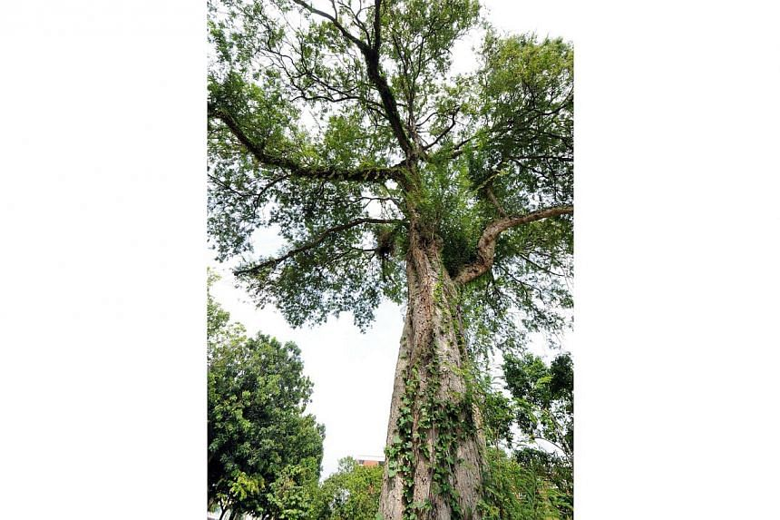 The Asam Tree, located in Surin Avenue Park, is one of the trees under the National Parks' (NParks) Heritage Tree Scheme. -- PHOTO: NATIONAL PARKS BOARD