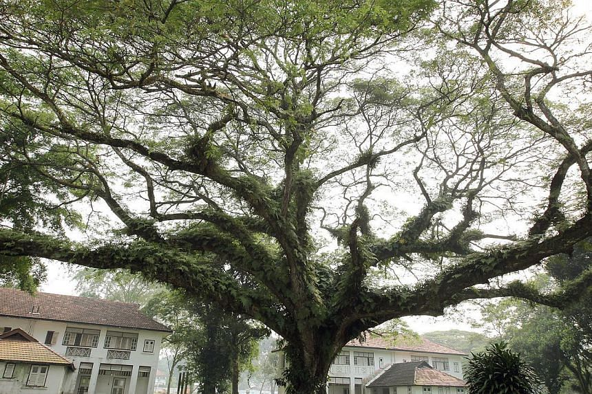 This 25m-tall raintree, with a trunk girth of 5.7m, is one of 14 that is registered in Singapore as heritage trees. -- PHOTO: ST FILE