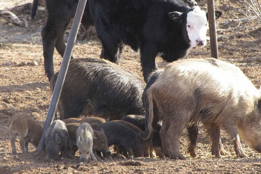 Feral swine (front) are pictured in this undated handout from the U.S. Department of Agriculture, Animal and Plant Health Inspection Service. An Indiana farm has become the first to confirm publicly it suffered a second outbreak of a deadly pig