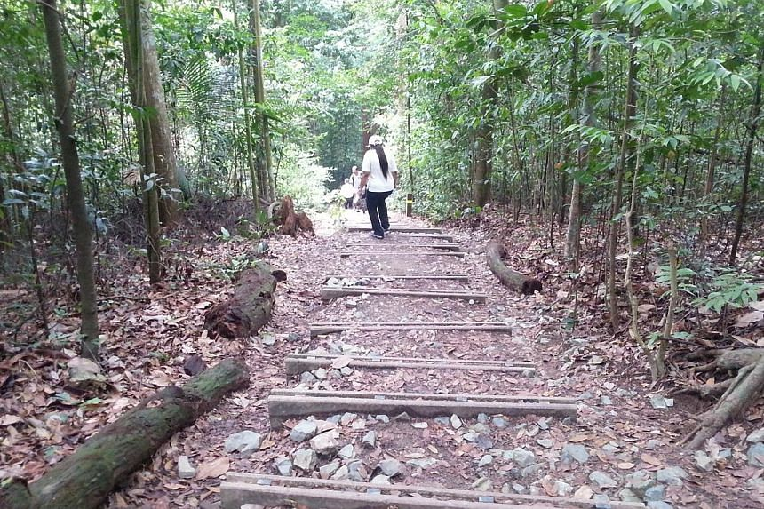 Trails in Bukit Timah Nature Reserve that have been widened from its original width. As visitors start walking on the sides of these paths, there is no plant regeneration.-- ST PHOTO:AUDREY TAN