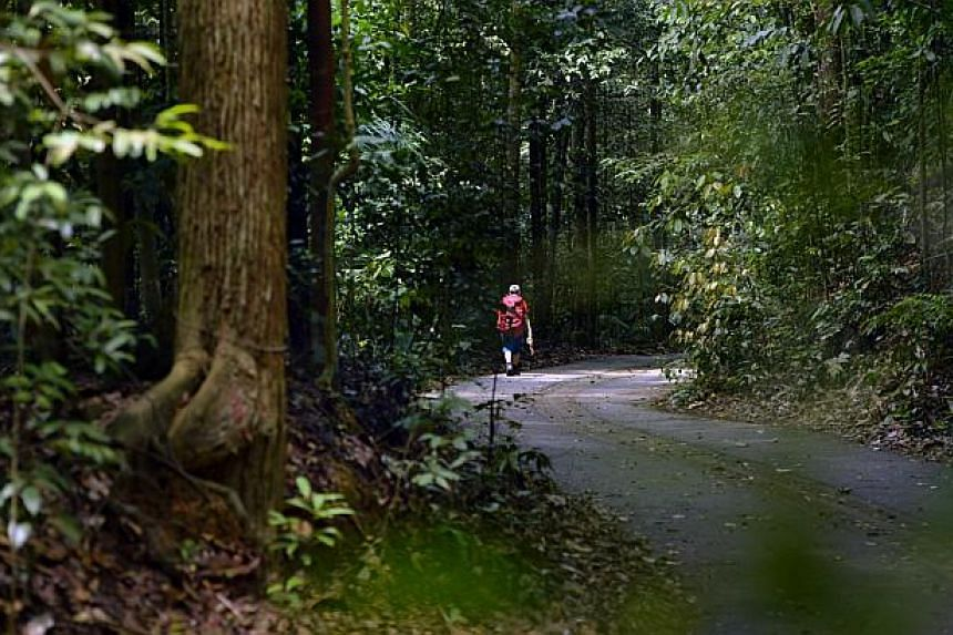 A lone hiker walking at the Bukit Timah Nature Reserve.For the first time in its 22-year history, the Bukit Timah Nature Reserve will be closed for six months for repair works.-- ST PHOTO:DESMOND FOO