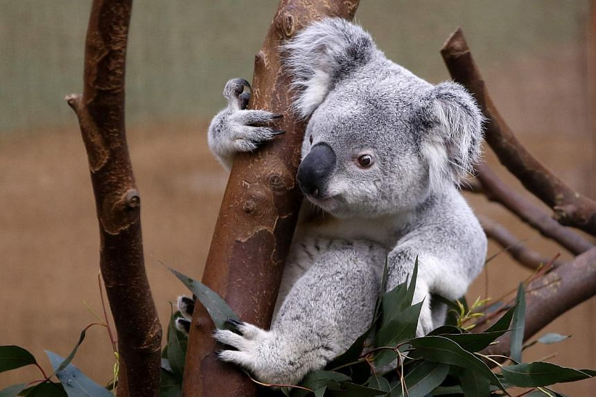 Nur Nuru Bin, a 1-year and 9-month-old koala, eats at the zoo of Planckendael near Mechelen on March 29, 2014. -- PHOTO: REUTERS