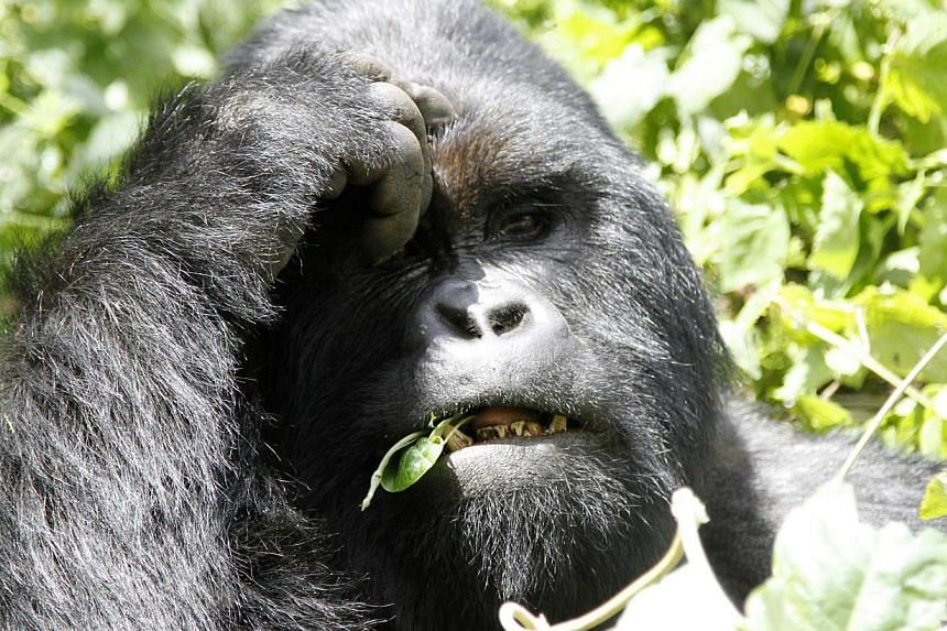 An endangered silverback mountain gorilla from the Nyakamwe-Bihango family feeds within the forest in Virunga national park near Goma in the eastern Democratic Republic of Congo on May 3, 2014.A Spanish zoo vet shot a keeper with a tranquillize