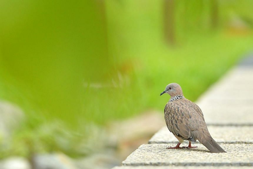 A Spotted Dove (Streptopelia chinensis) at the new Jurong Eco-Garden on June 4, 2014.-- ST PHOTO: LIM YAOHUI