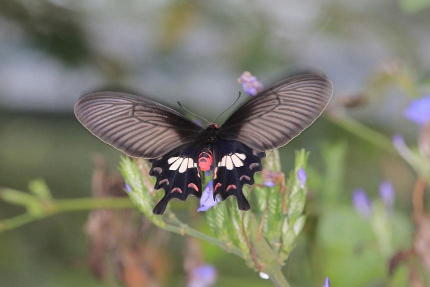 Blue Helen, a butterfly species of conservation interest found in Jurong Eco-Garden. -- PHOTO:JTC CORPORATION