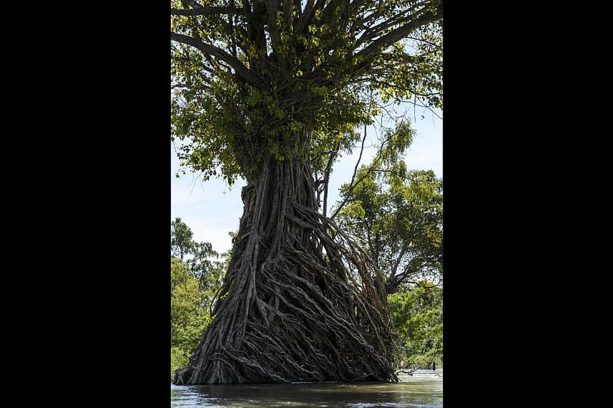 Old trees with exposed roots are a common sight in Stung Treng.