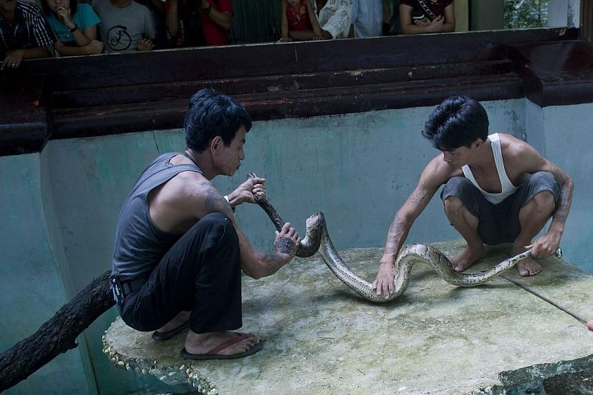 Snake charmer Sein Tin (left) taking care of a cobra at an enclosure at the city zoo in Yangon on Oct 5, 2013. -- PHOTO: AFP