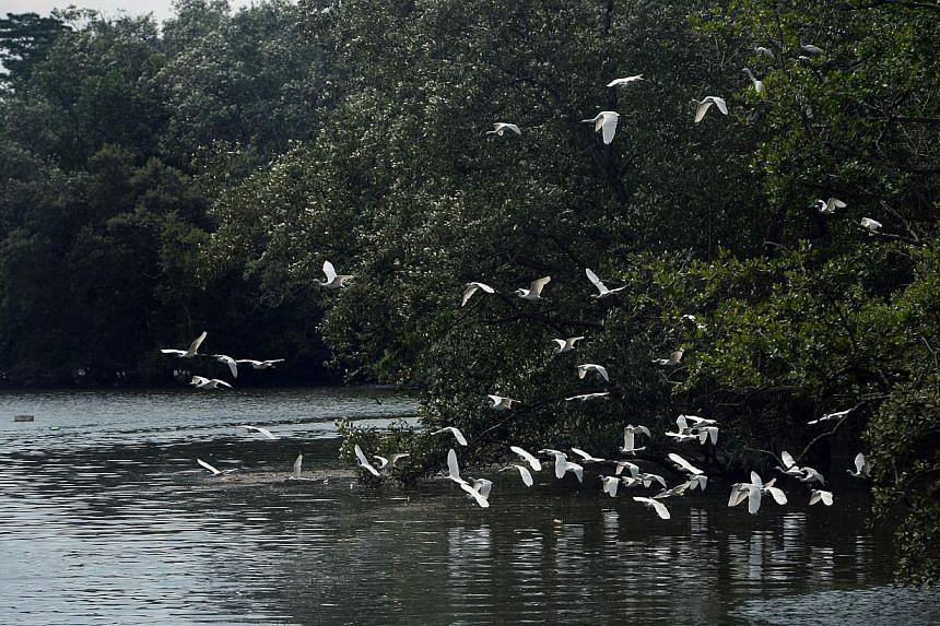 The Sungei Buloh Wetland Reserve. Experts and environmentalists are gathering here this week to share ideas on how to conserve intertidal areas, or mudflats and mangroves in the region that teem with wildlife. -- PHOTO: ST FILE