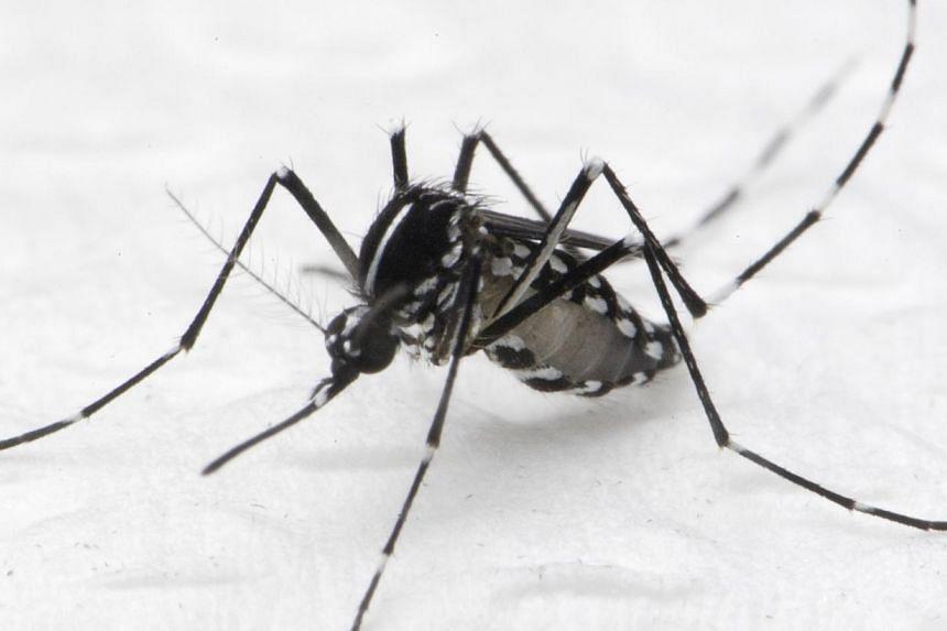 The Aedes albopictus mosquito that spreads dengue fever. -- PHOTO: NEA