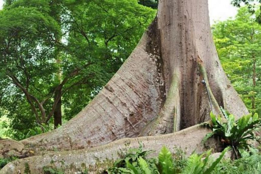The trunk of the Kapok Tree or White Silk-cotton Tree (Ceiba pentandra). -- PHOTO: ST FILE