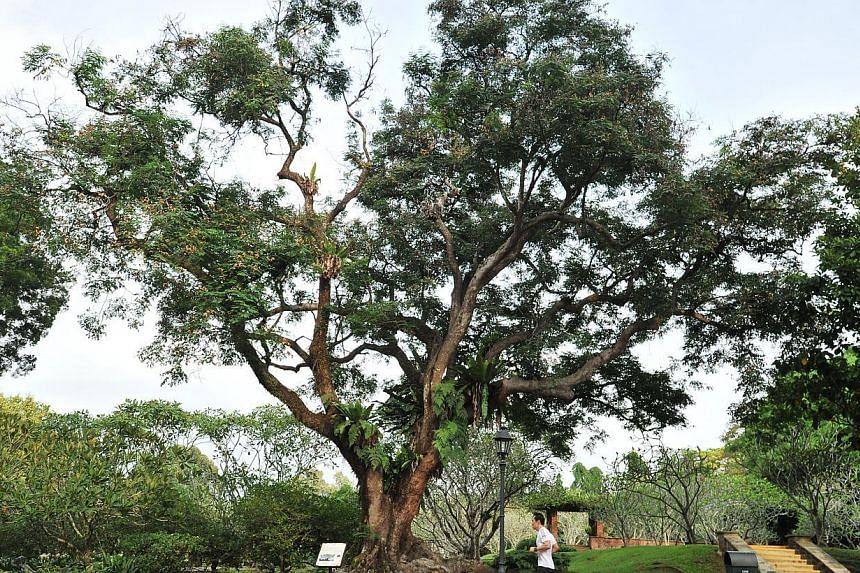 Saga or Red-bead Tree (Adenanthera pavonina). -- PHOTO: ST FILE