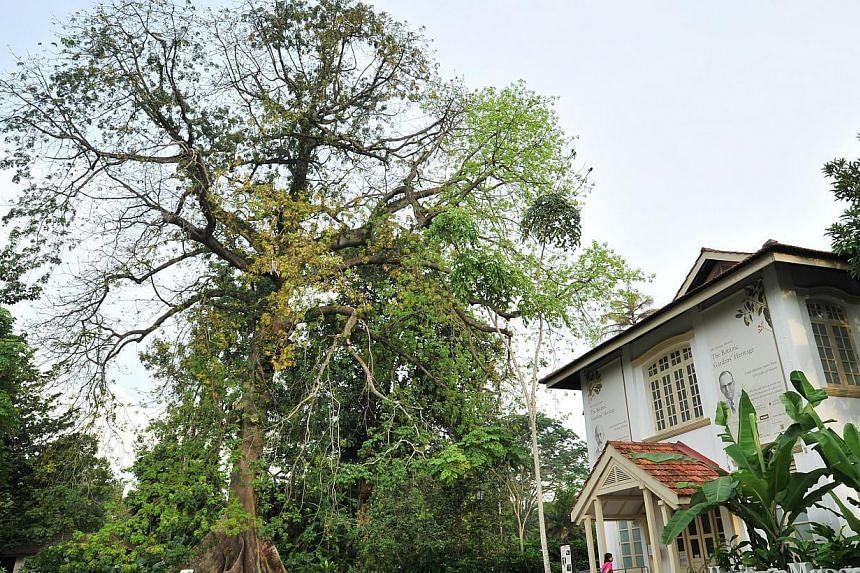 Kapok Tree or White Silk-cotton Tree (Ceiba pentandra). -- PHOTO: ST FILE