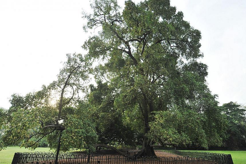 Tembusu (Fagraea fragrans). Located at Lawn E. This 30 meter tall, long-living, evergreen tree is distinctive to Singapore because it is featured on the back of our $5 note. -- PHOTO: ST FILE
