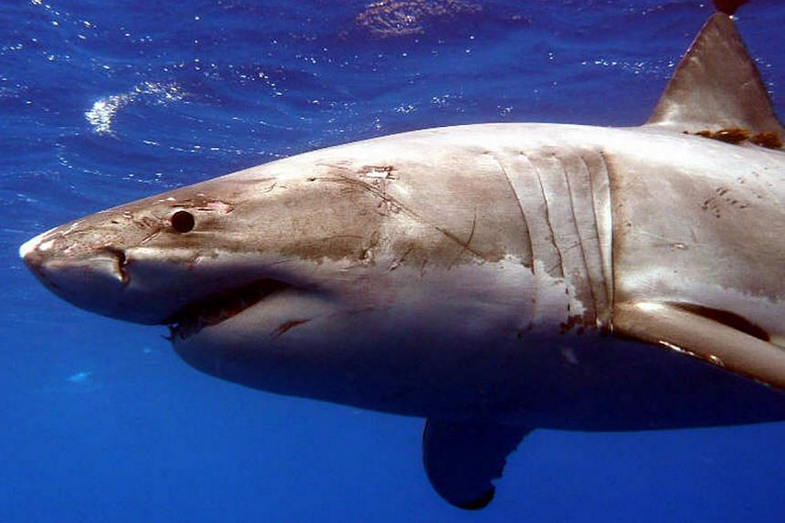 A Great White shark is pictured in the Eastern North Pacific in this undated handout photograph courtesy of Kevin Weng, University of Hawaii. -- PHOTO: REUTERS