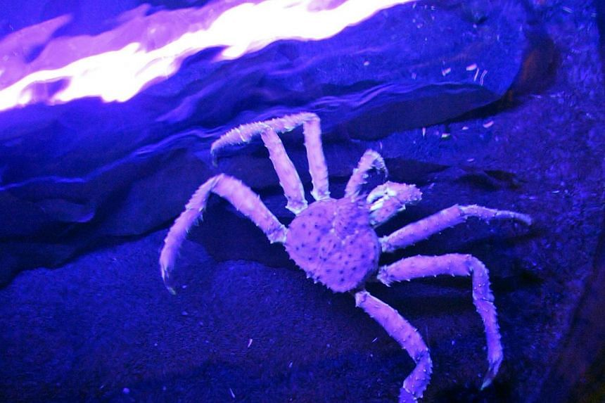 A picture taken on May 24, 2011,shows one of the three Kamchatka crabs which joined the Oceanopolis, Ocean Discovery Park in Brest, western France.Crabs have a sort of inner ear that helps them to hear nearby predators, US scientists have found