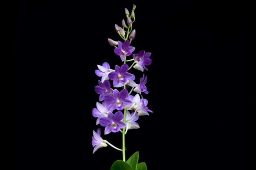A Singapore-based team created the new species of orchid using the process of hybridisation. -- PHOTO:MCCY.GOV.SG