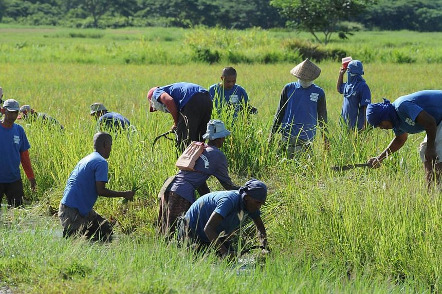 In this photo taken on June 6, 2014, inmates from the medium security compound work on a rice field at Iwahig prison in Puerto Princesa, Palawan island. -- PHOTO: AFP