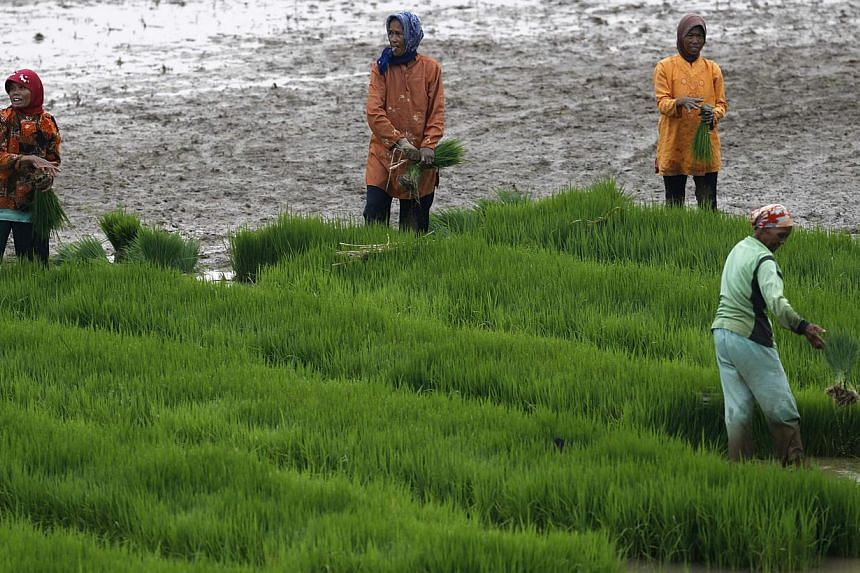 Farmers on a rice paddy field near Subang, in Indonesia's West Java province, on May 27, 2014. -- PHOTO: REUTERS