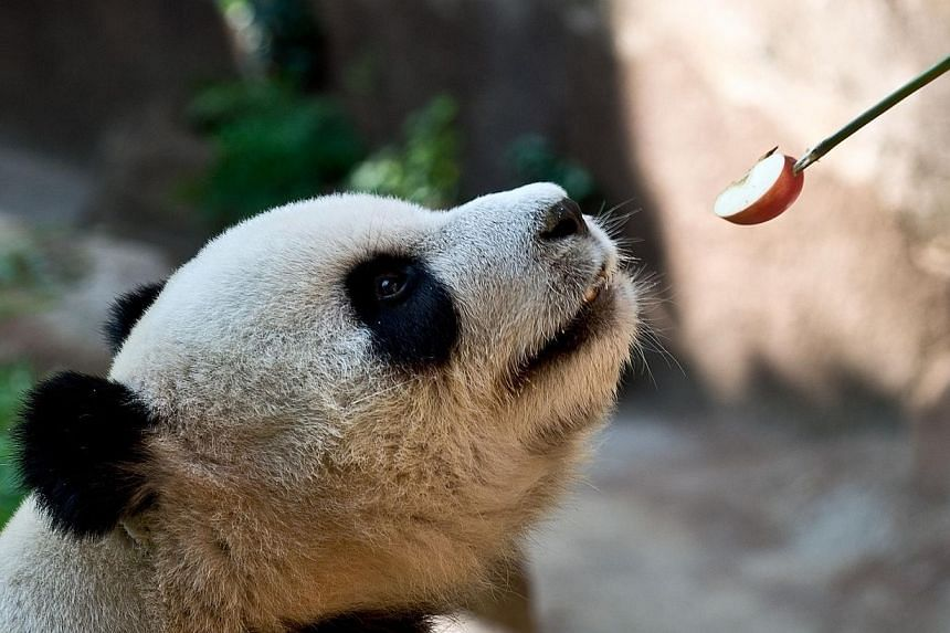 Xing Xing, one of two giant pandas on loan from China, is fed an apple inside the Giant Panda Complex enclosure at the National Zoo in Kuala Lumpur on June 25, 2014. -- PHOTO: AFP