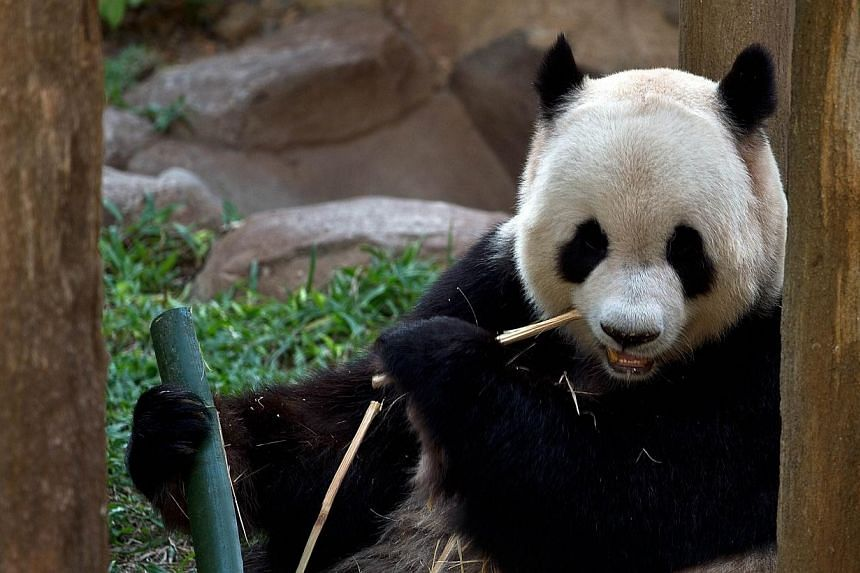 Xing Xing, one of two giant pandas on loan from China, sits inside the Giant Panda Complex enclosure at the National Zoo in Kuala Lumpur on June 25, 2014. -- PHOTO: AFP