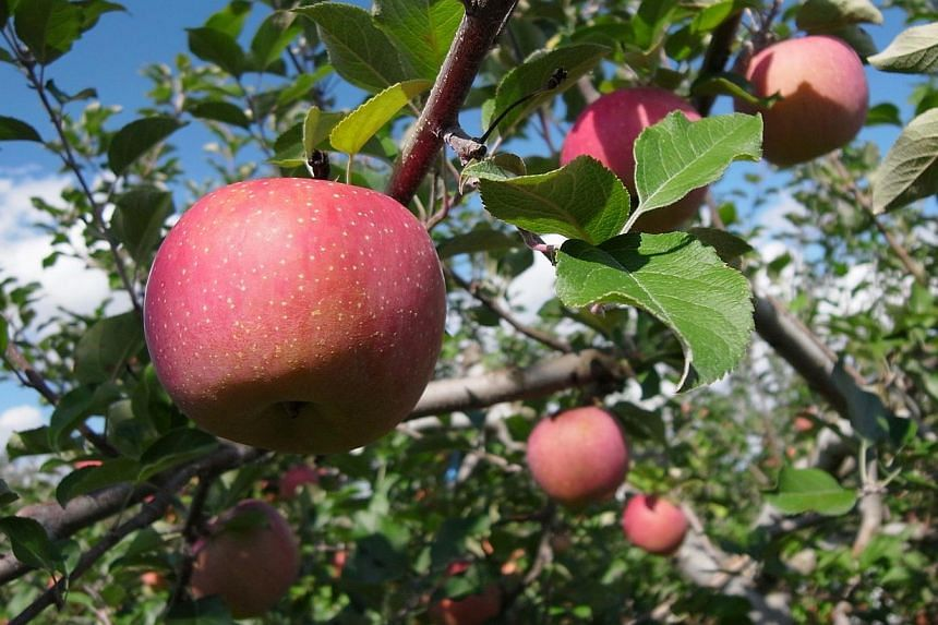 The Fuji apple (above) or fragrant pear in stores here may now cost up to 50 per cent more, as hot and dry weather in Asia drives up the price of fruit. -- PHOTO: ST FILE