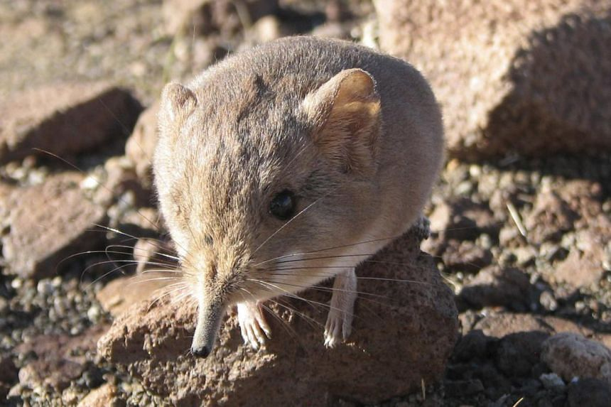 A Macroscelides micus elephant shrew found in the remote deserts of southwestern Africa is shown in this handout photo from the California Academy of Sciences. The new mammal discovered in the remote desert of western Africa resembles a long-nosed mo