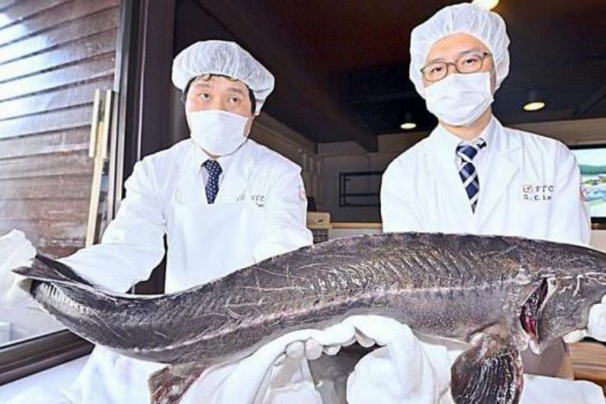Delicious appetiser: Japanese employees holding a sturgeon during a caviar-making demonstation at Felda Tenggaroh 3 in Mersing, Johor. Prepare for a taste of Malaysian caviar, which will come from sturgeon fish farms developed by the country's F