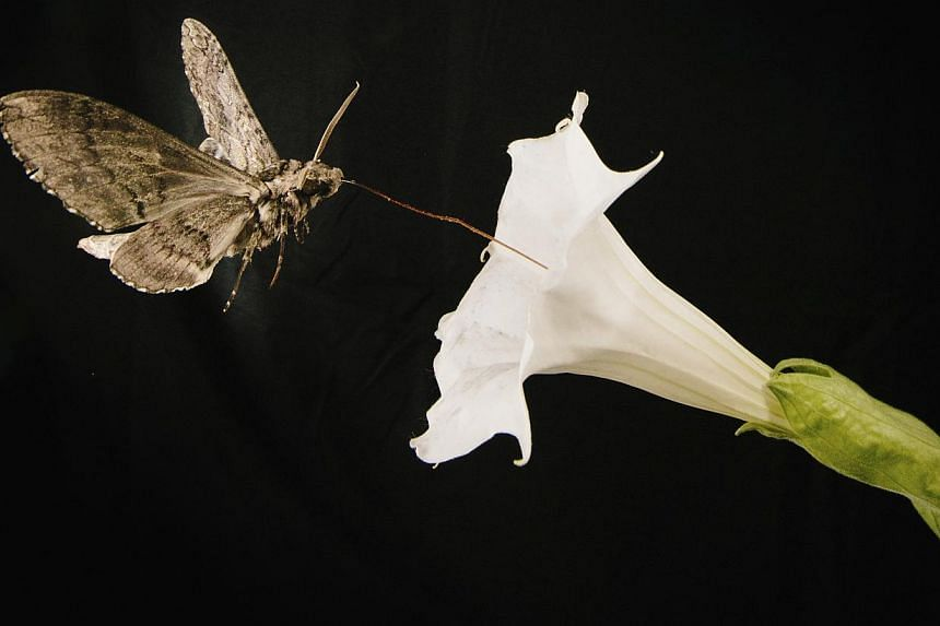 A pollinating moth Manduca sexta, this one with a wing span of about 4 inches, feeds from a Sacred Dutura, or Datura wrightii, flower while flying through a wind tunnel at the University of Washington in Seattle, Washington in this May 2014 picture p