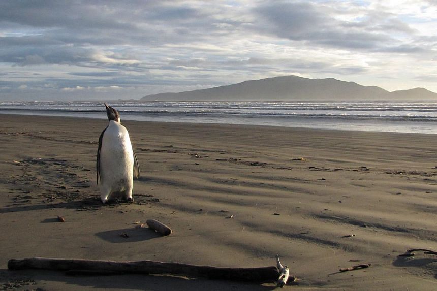 An Emperor penguin in New Zealand, some 3,000 kilometres from his Antarctic home on June 20, 2011. Global warming will send Antarctica's emperor penguins into decline by 2100, scientists projected on Sunday, and called for the emblematic birds to b
