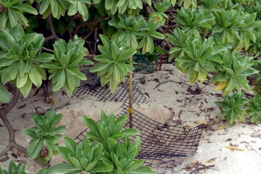 The sea turtles' nest chambers are marked with wooden sticks by the conservation team at Chagar Hutang, Malaysia. Wire mesh screens are placed over the nests to deter predators like monitor lizards from devouring the eggs and hatchlings, although thi