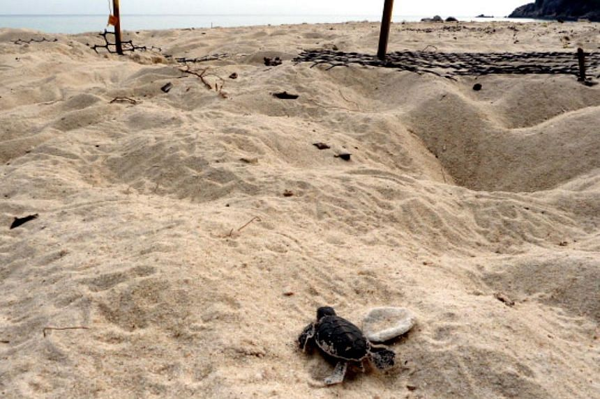 A hatchling trying to make its maiden journey to the sea. Most hatchlings emerge from their nests at night after some 45 days of incubation and will head to the sea instinctively, unless they are disoriented by a man-made light source. -- ST PHOTO: C