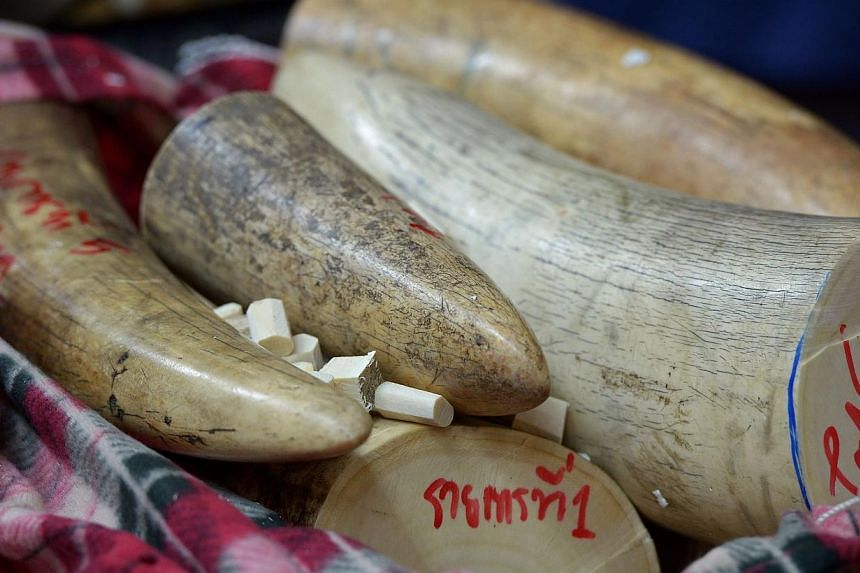 "This file picture taken on Aug 30, 2013, shows confiscated elephant tusks displayed during a press conference at the customs office in Bangkok. Thailand's ""out of control"" ivory market is driving Africa's elephant poaching crisis, conservationis"