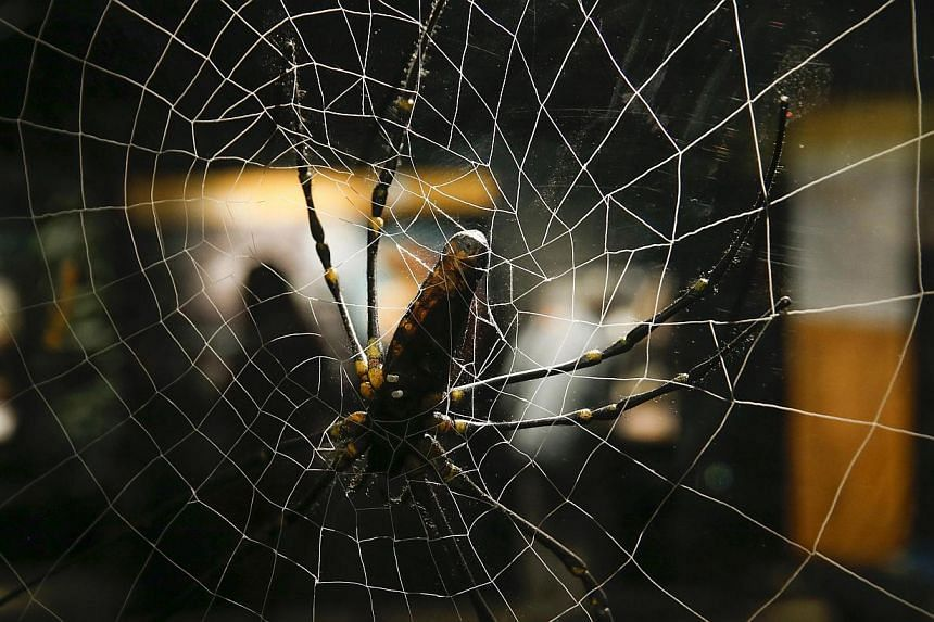 A spider display is seen during the media preview of the Spiders Alive! exhibit at the American Museum of Natural History in New York on July 1, 2014. -- PHOTO: REUTERS