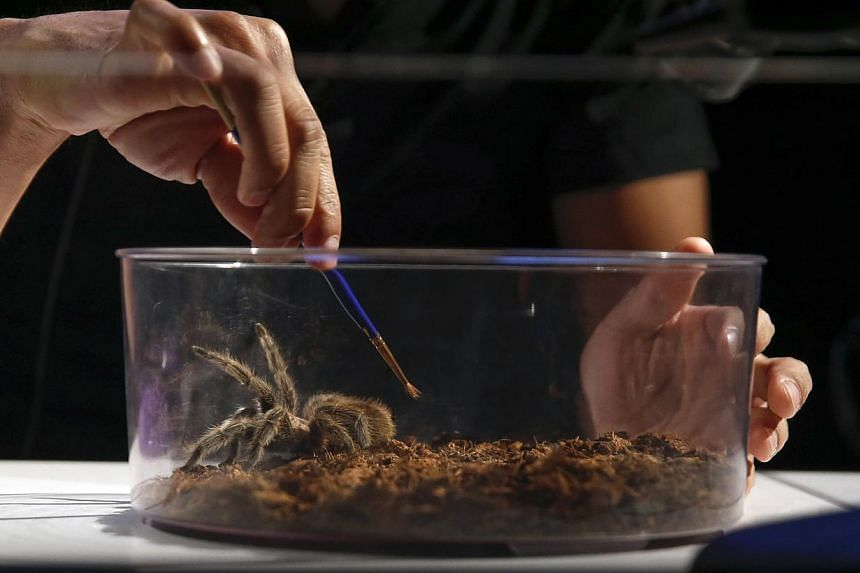 """A man works on a tarantula spider during the media preview of the """"Spiders Alive!"""" exhibit at the American Museum of Natural History in New York on July 1, 2014. -- PHOTO: REUTERS"""