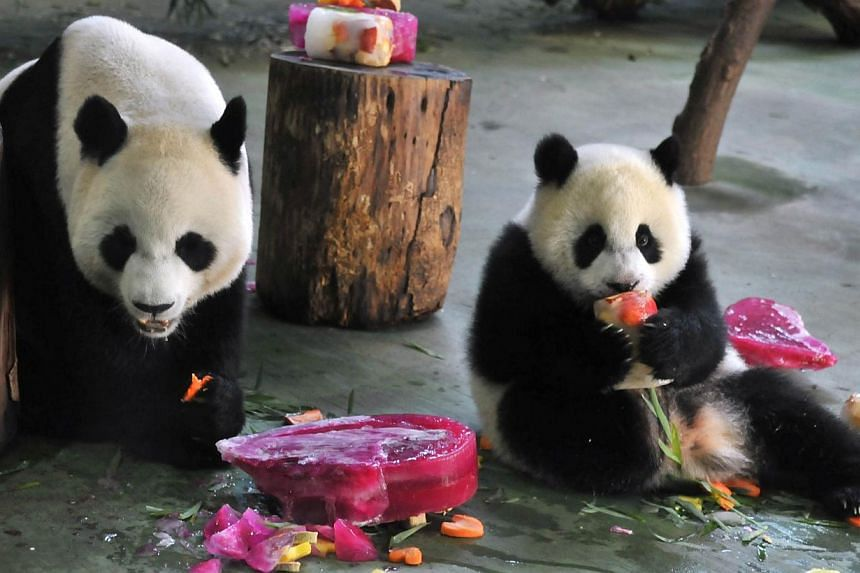 Yuan Zai (right), the first Taiwan-born giant panda, and her mother Yuan Yuan enjoy Yuan Zai's birthday cake during the celebration of the cub's first birthday at the Taipei City Zoo on July 6, 2014. -- PHOTO: AFP