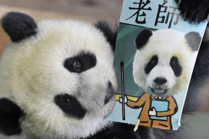 """Yuan Zai, the first Taiwan-born giant panda, bites a career card reading """"teacher"""" while playing """"Zhua Zhou"""", a traditional game played on a child's first birthday to determine his or her future, during the celebration of the cub's first birthday at"""