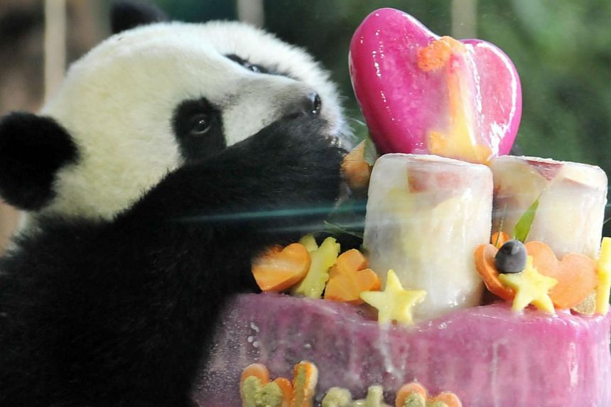 Yuan Zai, the first Taiwan-born baby panda, enjoys her birthday cake, during the celebration of the cub's first birthday at the Taipei City Zoo on July 6, 2014.Thousands braved the summer heat on Sunday to celebrate the first birthday of Yuan Z