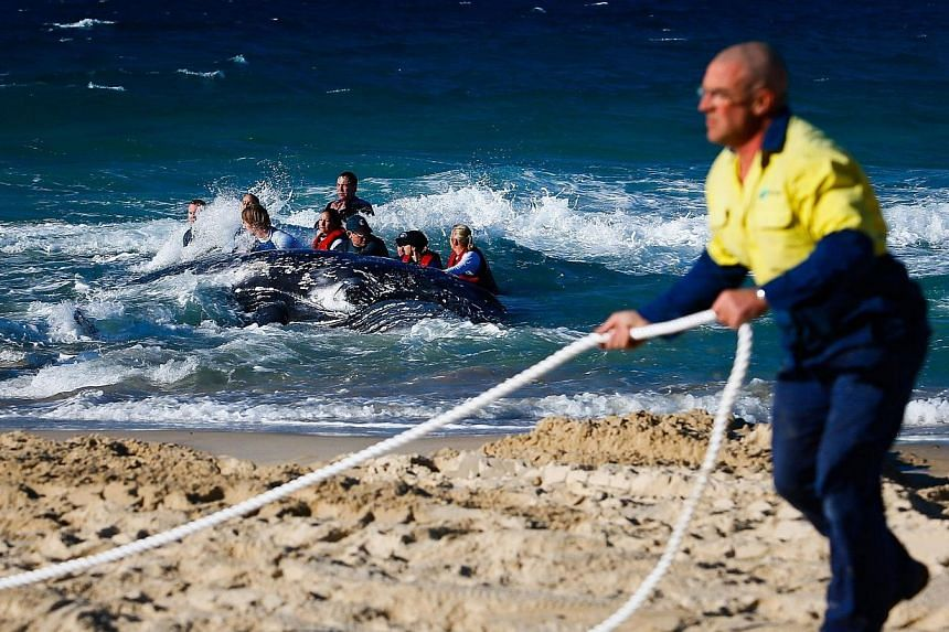A Council worker (right) prepares a rope as Sea World marine rescue workers try to rescue a humpback whale beached at Palm Beach on Queensland's Gold Coast on July 9, 2014. -- PHOTO: AFP
