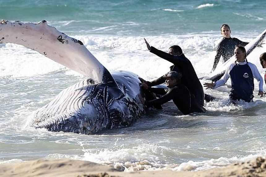 Marine rescue workers from Sea World attempt to help a juvenile humpback whale stranded at Palm Beach on the Gold Coast, in Queensland on July 9, 2014. -- PHOTO: REUTERS
