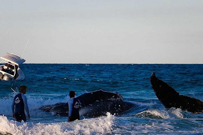 Sea World marine rescue workers try to rescue a humpback whale beached at Palm Beach on Queensland's Gold Coast on July 9, 2014. Australian authorities struggled to rescue a beached baby whale on Wednesday and were forced to suspend the operation as