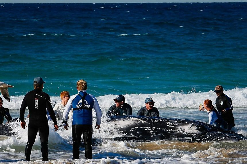 Sea World marine rescuer workers try to rescue a humpback whale beached at Palm Beach on Queensland's Gold Coast on July 9, 2014. -- PHOTO: AFP