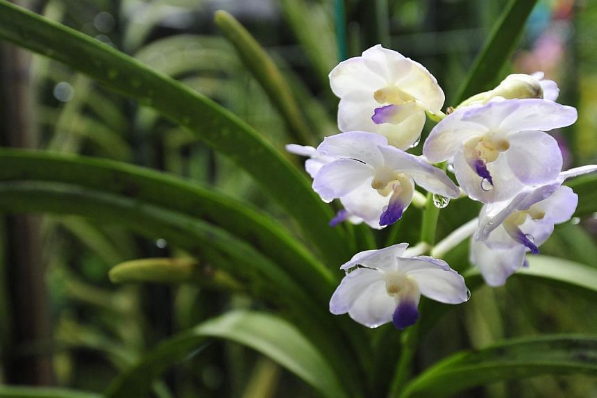 One of the many orchids grown at the terrace house of retired teacher Stanley Ang.-- PHOTO: DIOS VINCOY JR FOR THE STRAITS TIMES