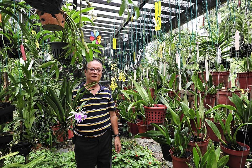 More than 700 orchids are grown at the terrace house of retired teacher Stanley Ang (above). -- PHOTO: DIOS VINCOY JR FOR THE STRAITS TIMES